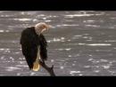 BBCЖИВАЯ ПРИРОДА Видео про ОРЛОВ (Под музыку группы ABBA с песней Eagle)